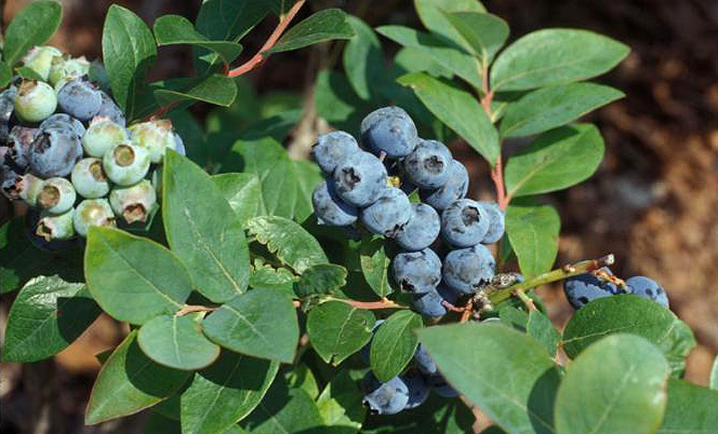 Florida Blueberry Nursery Celebrating 30 Years Providing Exceptional Quality Plants